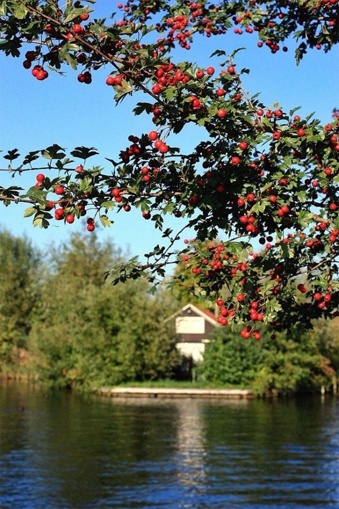prune a pomegranate tree